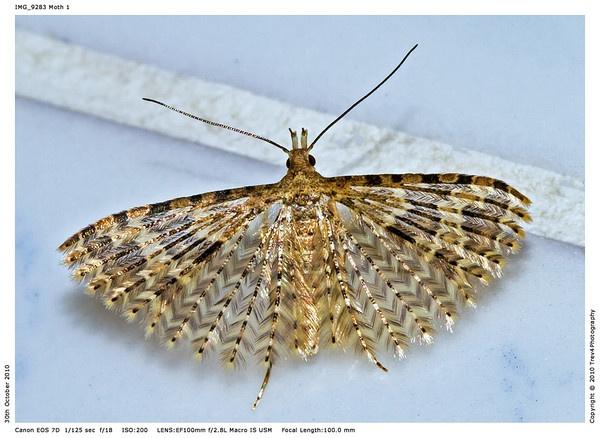 Twenty-plume Moth Macro by trev4