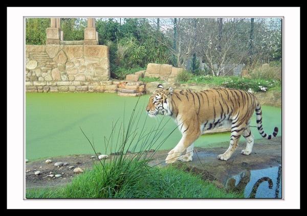 Tiger by grumpalot