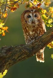 Autumn Tawny Owl - Back-lit (c)