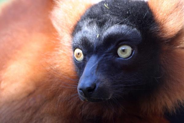 Lemur by Skull