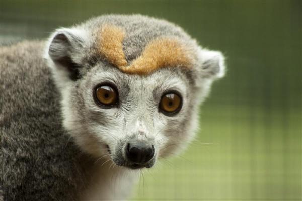 Lemur by spaldingd