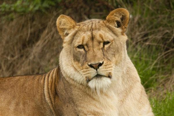 Lioness by spaldingd