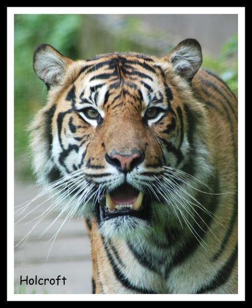 Tiger Tiger by Mizcah