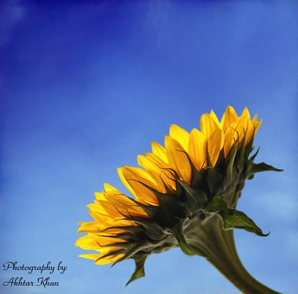 Cool Sunflower by akhtarkhan