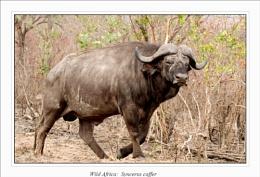 Buffalo (Syncerus caffer)