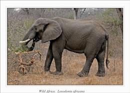 Wild Africa: Loxodonta africana