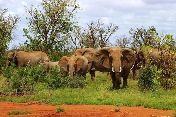 Elephants by chrissyste
