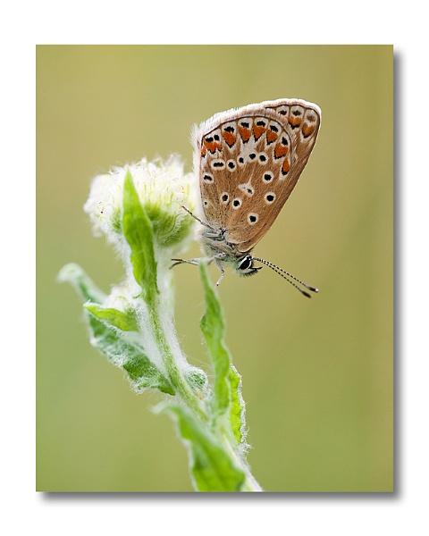 common blue by blackbird