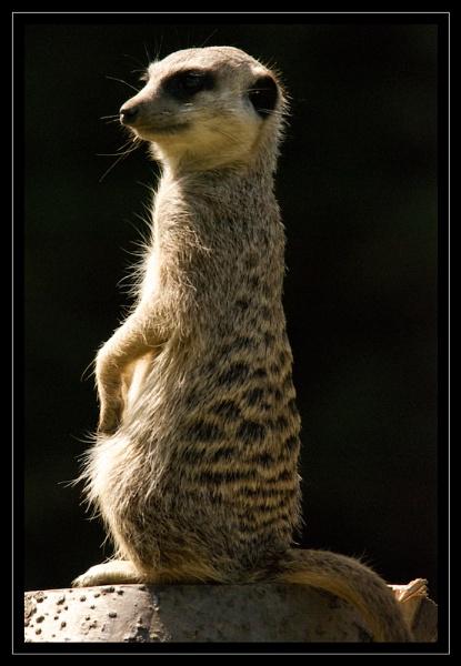 Meerkat by GaryR