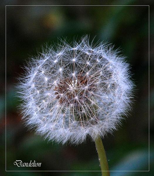 Dandelion by DERIC