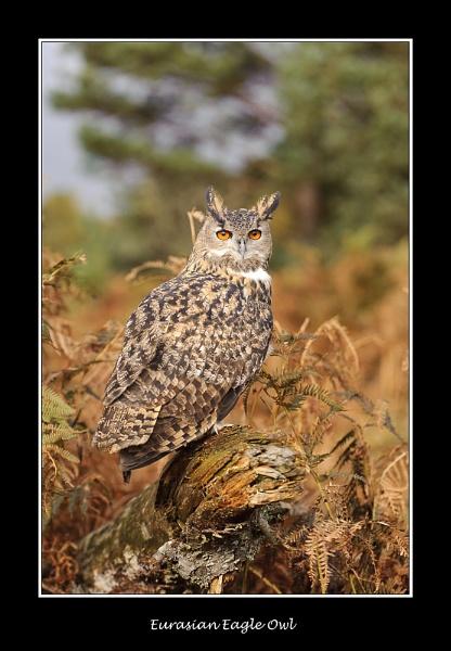 Eurasian Eagle Owl by BobA