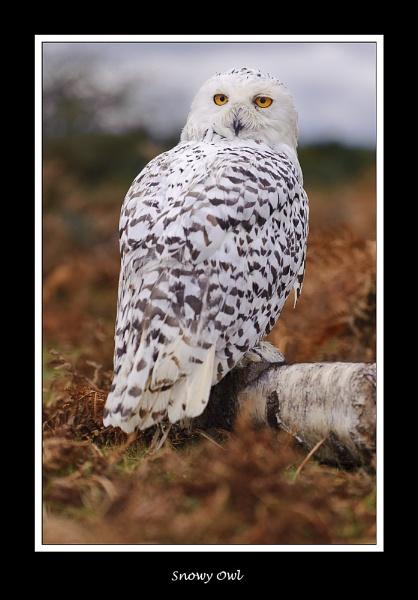 Snowy Owl by BobA