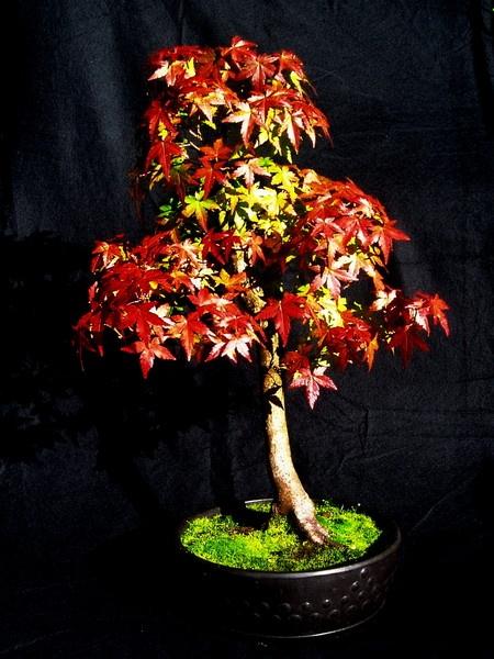 Acer Palmatum Bonsai by BarrySaich