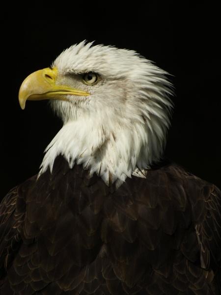 Eagle by JezzaG