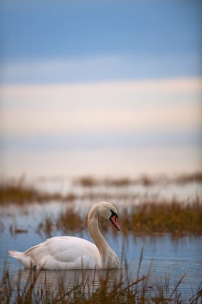 Lone Swan by SteveSav