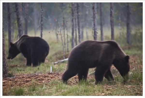 Bears feeding by rontear