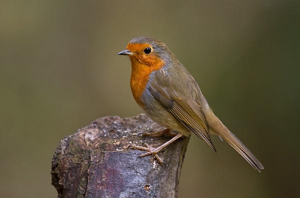 Robin by Lorraine_Wallace