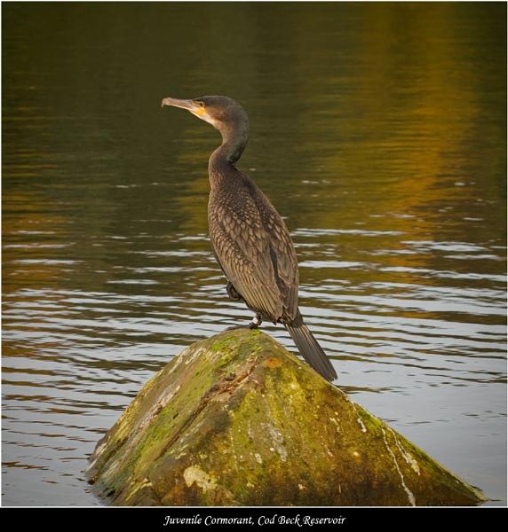Juvenile Cormorant by DaveMead