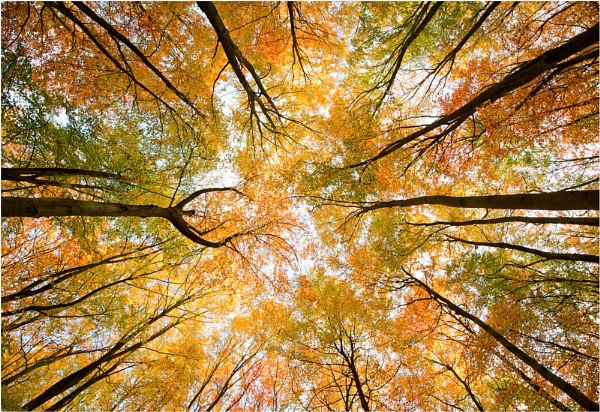 Autumn Beech Woodland Canopy by Heliopause