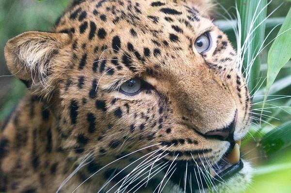 Amur Leopard by kilo363