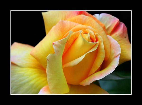 Rose by fran_weaver
