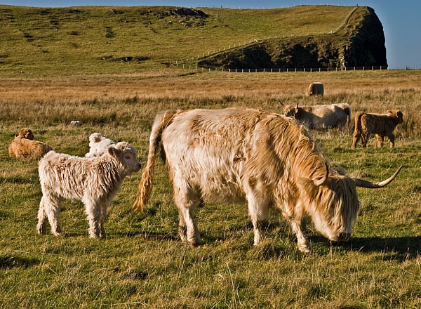 Blonde Highland Cow and Calf by Sasanach