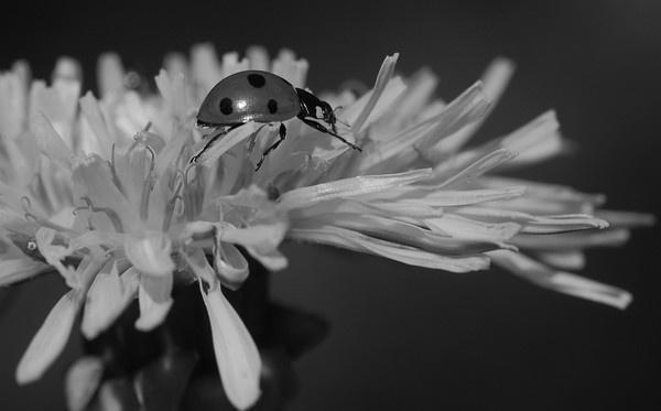 Leaping Ladybird by sallybea