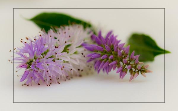 Lilac by shush