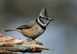 CRESTED TIT.