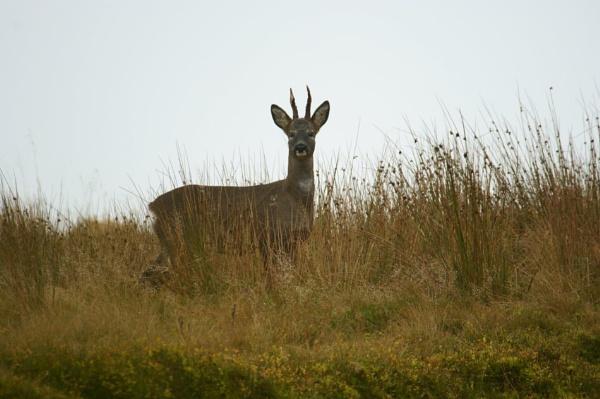 Roe Buck on moorland by AndyBeattie
