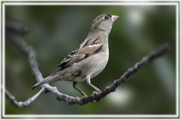 House - Sparrow by rajishravi