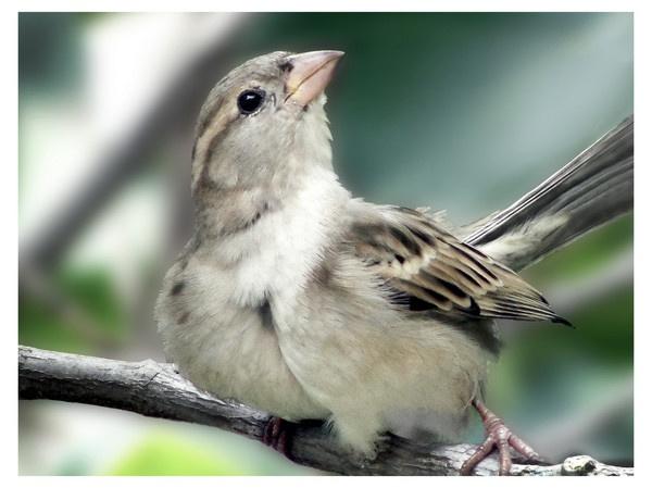 House sparrow- 2nd part by rajishravi