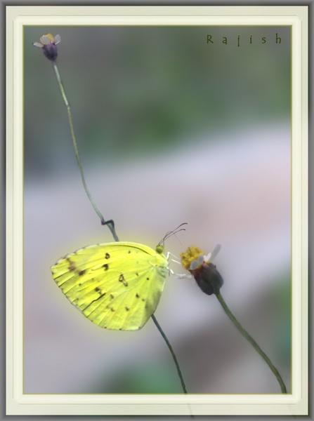 Yellow Butterfly by rajishravi