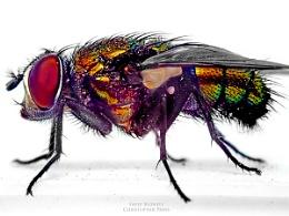 Sheep Blowfly