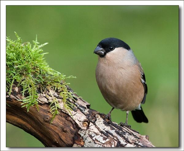 Female Bullfinch by DerekL
