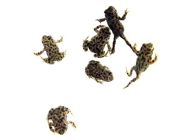 Spade toadies by acbeat
