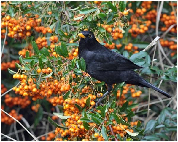 Mr Blackbird by MikeRC