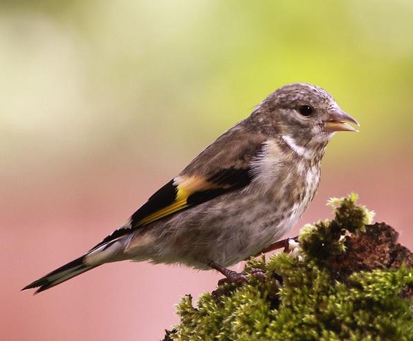 Goldfinch - Juvenile by Alan_Coles