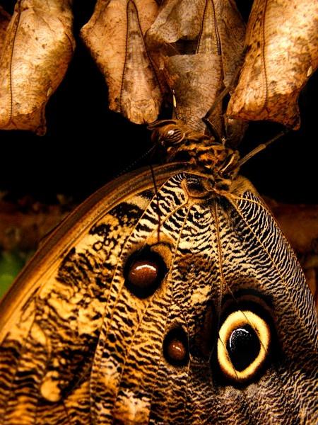 Owl Butterfly II by RachelMB