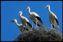 Whooper Cranes
