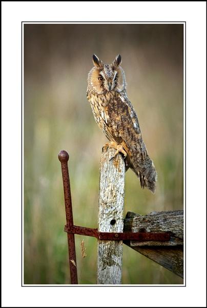 Long Eared Owl by phil_j