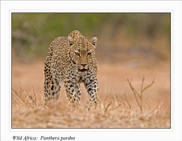 Wild Africa: Panthera pardus by Gezina