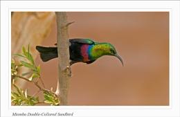 Miombo Double-collard Sunbird