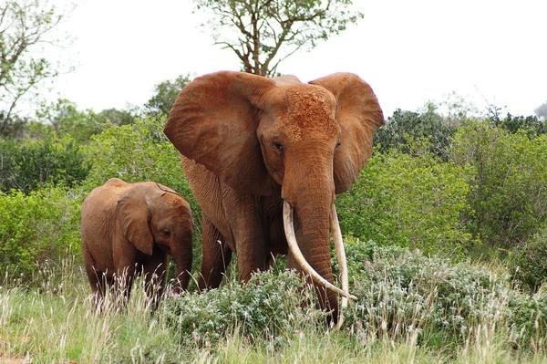 Elephants 2 by chrissyste