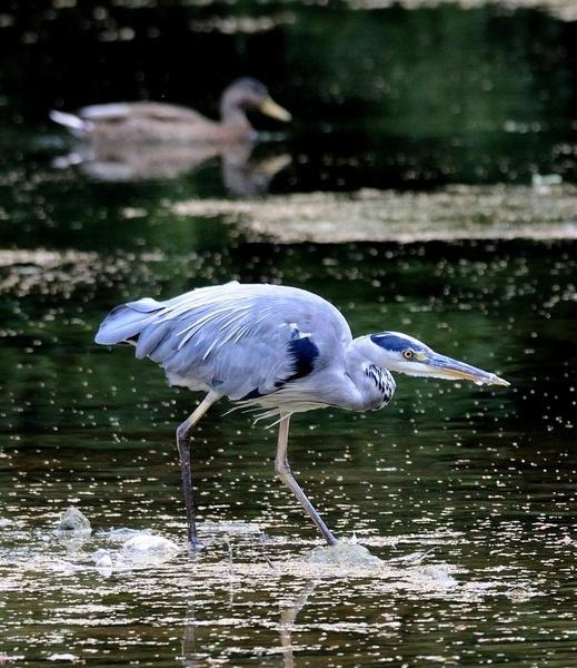 Stalking Heron 2 by dnwilliams