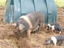 fanily of pigs near rothbury northumberland