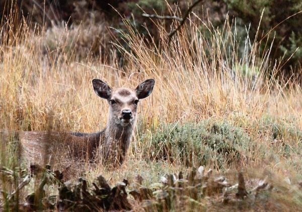 sika deer by jayjay52