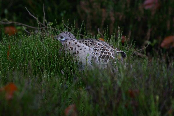 camleleon pheasant by adobedon