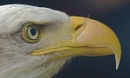 Bald Eagle by shandoor