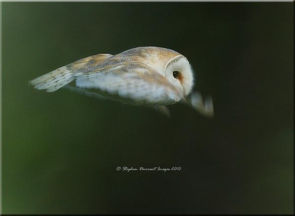 Barn Owl by StephenDurrant